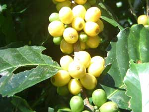 葉が大きいロバスター種のコーヒー果実